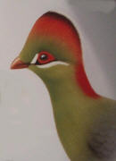Fischer's Turaco. Click to enlarge.
