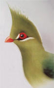 Livingstone's Turaco. Click to enlarge.