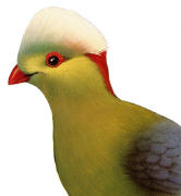Prince Ruspoli's Turaco. Click to enlarge.