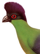 Purple-crested Turaco. Click to enlarge.