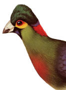 Ruwenzori Turaco (johnstoni). Click to enlarge.