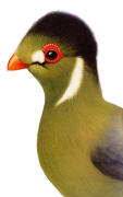 White-cheeked Turaco. Click to enlarge.
