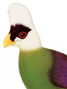 White-crested Turaco. Click to enlarge.