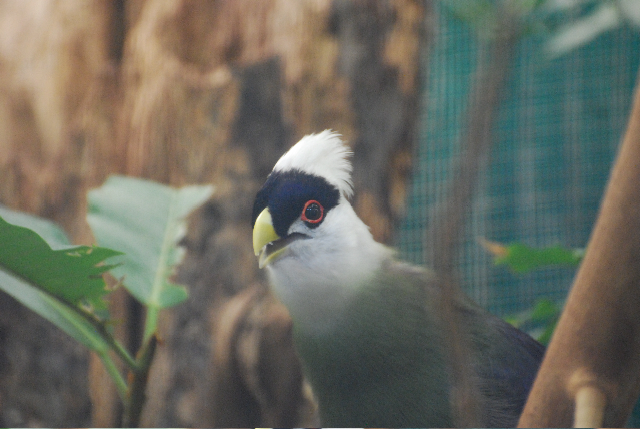 White-crested