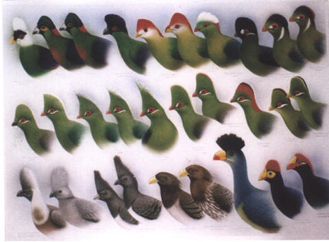 Turacos of the World