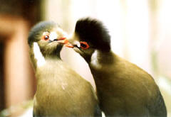 Pair of White-cheeked Turacos