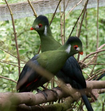 White-cheeked Turacos